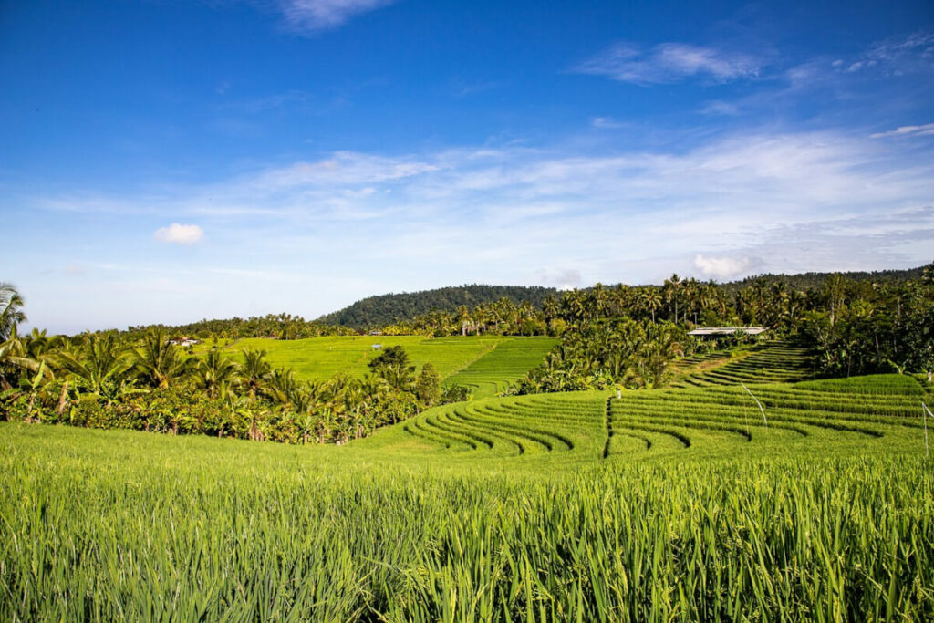 Bali - Reisterrasse